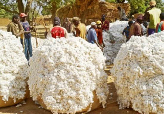 Coton : l'Etat prend la charge le total du différentiel du prix d'achat du coton graine