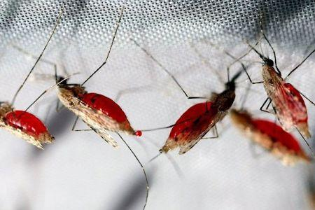Efficace à 77%, un candidat vaccin contre le paludisme suscite de l'espoir